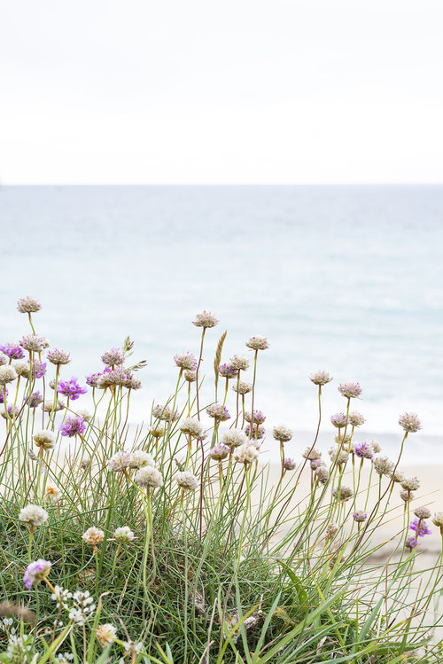 Sea thrift on the cliffpath.